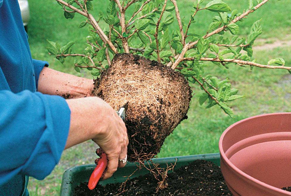 indoor plant roots